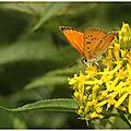 Cuivré de la verge-d'or : lycaena virgaureae