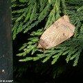 La Hulotte - Noctua comes - Noctuidae / Hadeninae