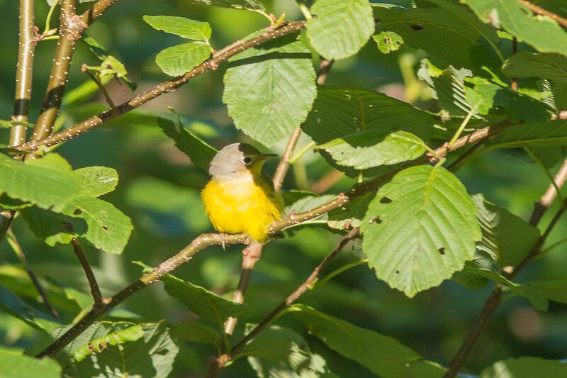 Oporornis agilis - Parulineà gorge grise