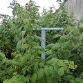 31 juillet - framboisiers géants....faciles à récolter...