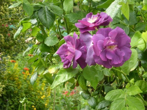 Monet jardin juillet 2013 93