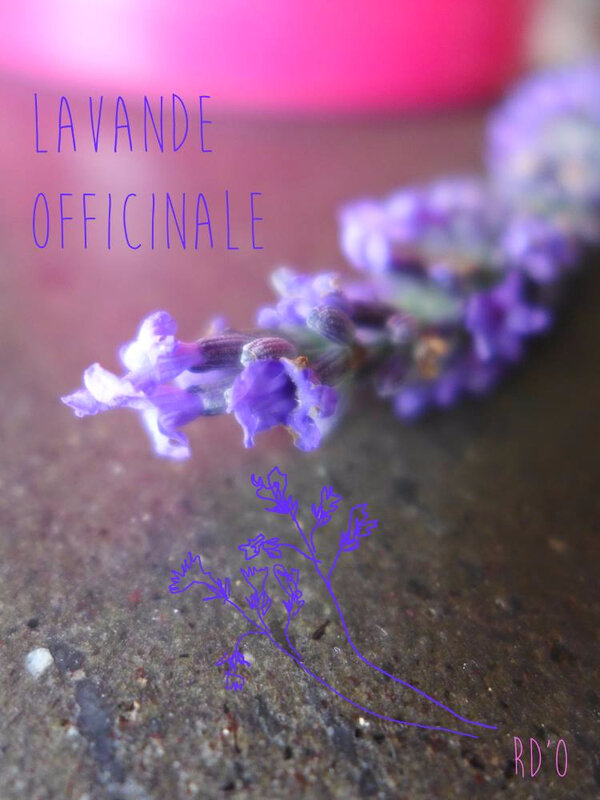lavande-officinale-RDO-blog