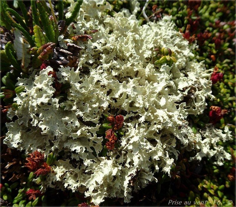 Gde Sassière - c - Lichens