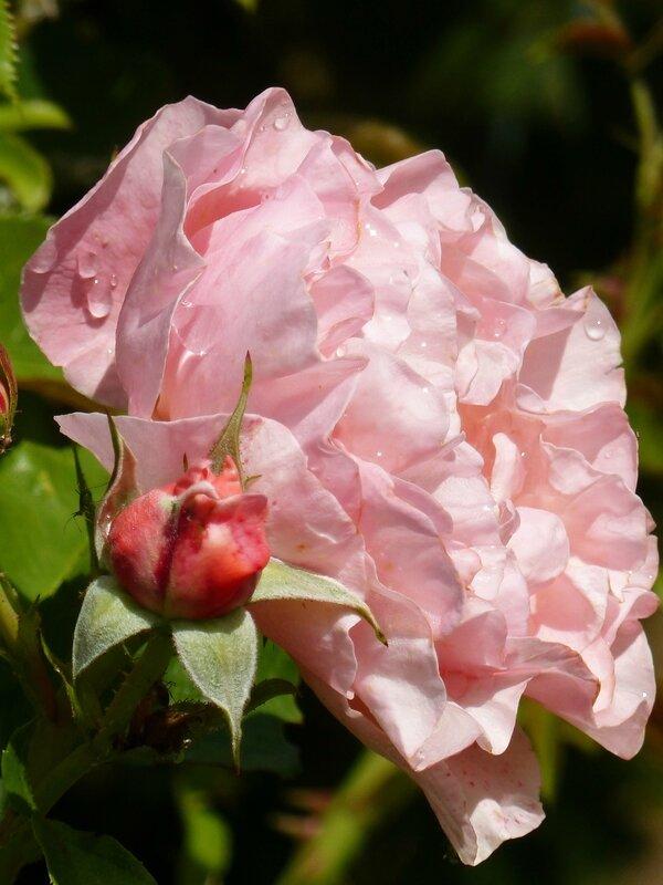rose marie curie (6)