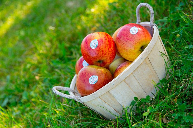 La-reine-des-reinettes-ouvre-la-saison-des-pommes