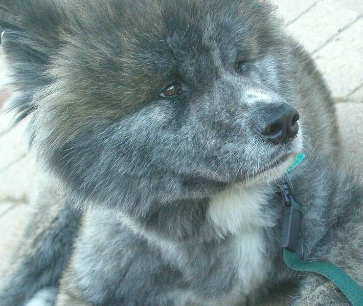 710px-Brindle_Moku_Akita_Inu_-_Medium_Length_Clipped_Fur_-_Face_Shot