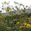 2009 08 25 Rudbeckia Herbstsonne en fleurs