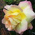 Rose 2205169