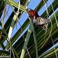 Danaus-plexippus • Monarque • Famille des Danaidae