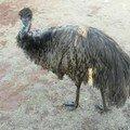 Un emu.