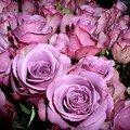 Les Roses...