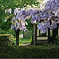 Glycines & lilas….