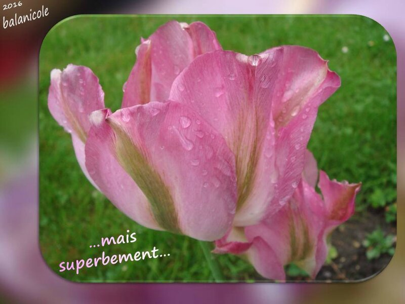 balanicole_2016_05_avril tulipes_49_superbement