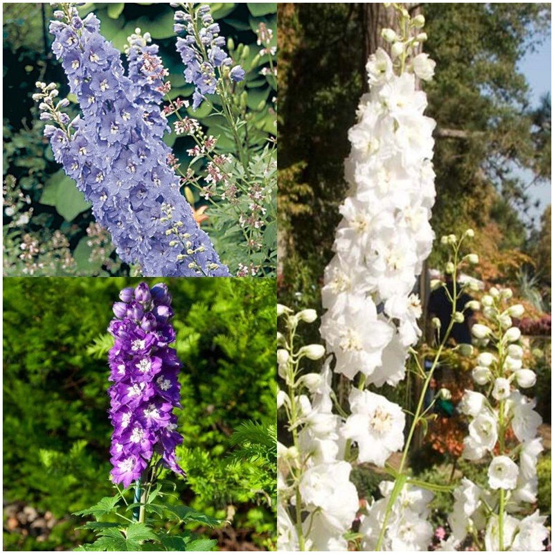 Collection-3-Delphiniums-82435-1