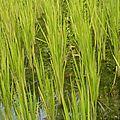 Point de riz