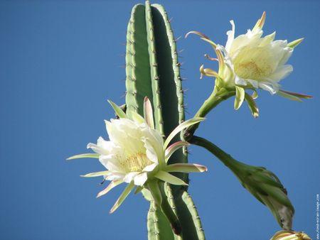 fleur_de_cactus