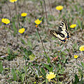 Machaon - Papilio machaon (13)