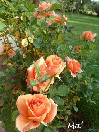120516_rose1