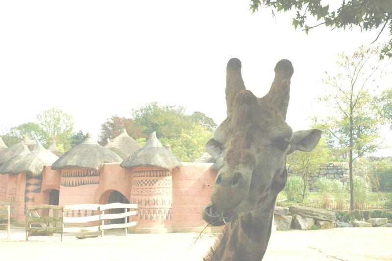13 giraffe