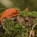 Arion rufus, grande loche ou limace rouge