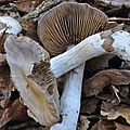 Cortinarius sp (4)
