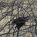 Corbeau freux (Corvus frugilegus) (nid de)