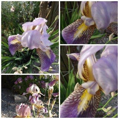 Iris mai 2017 (8)
