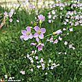 La cressonnette accueille pollinisateurs et larves de cercope...