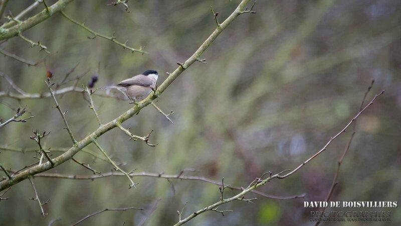 Mésange nonnette (Poecile palustris)