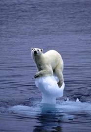 Ours sur morceau de glace fondue