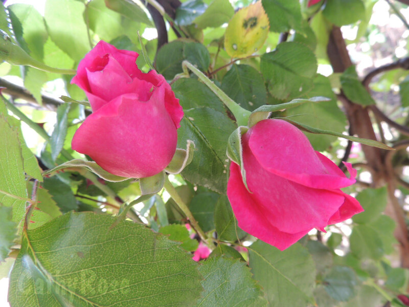 && Terre de Roses (13)