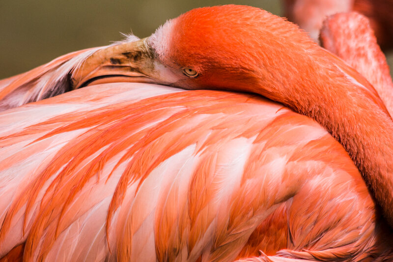 new-0043_flamants rose de cuba-H3A919301