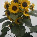 2009 08 25 Mon tournesol Kong Hybride en fleur