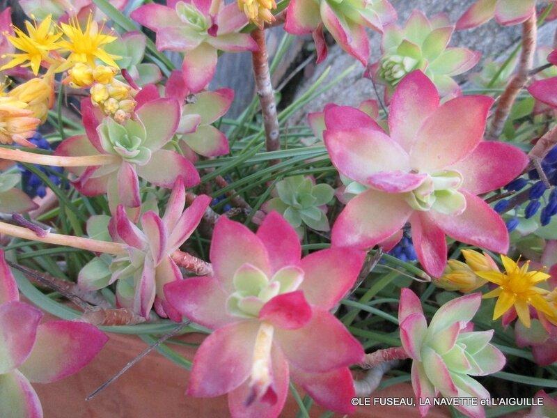 succulentes 2017 3