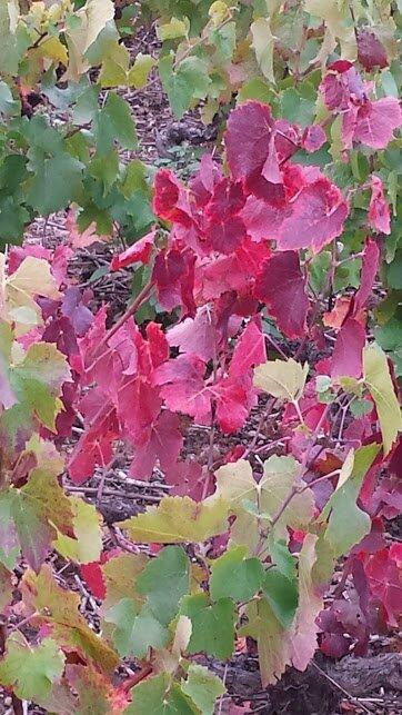 vigne 1