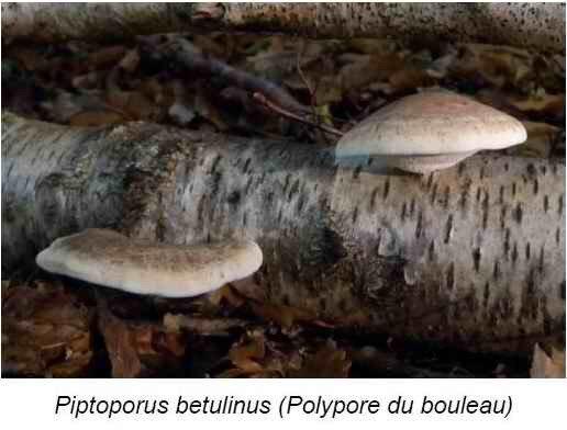 Polypode du bouleau