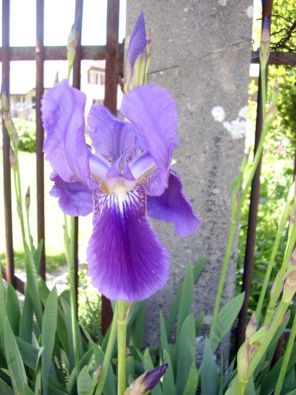 Iris barbu (iris germanica)