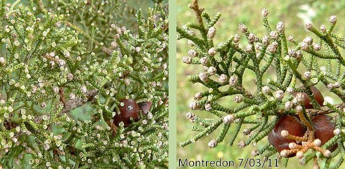 bourgeons nus (fleurs non observées)