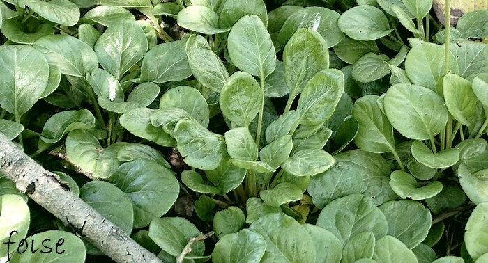 6-12 feuilles en rosettes basales (persistant 2 ans avant de produire une tige florifère)