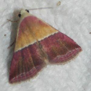 Eublemma anachoresis 01