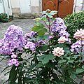 Phlox et autres fleurs de la cour