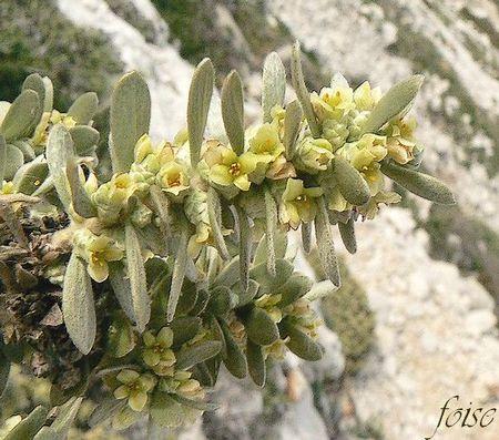 Thymelaea tartonraira