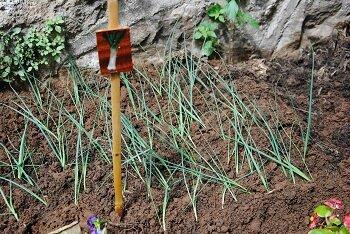 plants étiq poireau