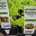Plantations de salades.