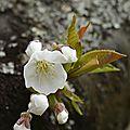 Fleurs cerisier 1