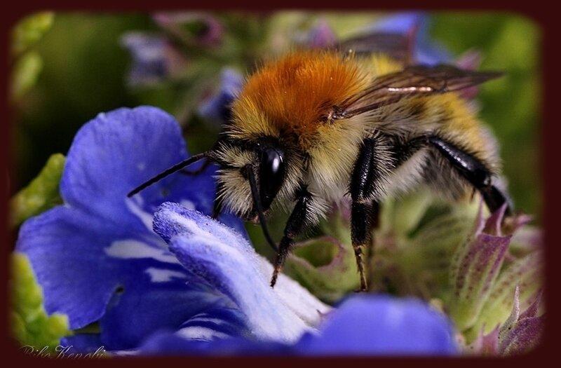 OB-Andrena-fulva--abeille-sauvage-rousse-
