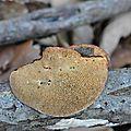 Daedaleopsis confragosa (3)