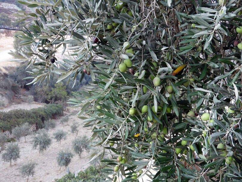 Wadi planté d'oliviers - web