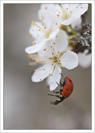 Torfou_coccinelle_acrobate_aubepine_260311