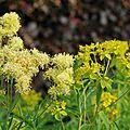 Euphorbia schillingii et thalictrum flavum subsp. glaucum